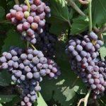 یک هزار و ۸۰۰ تن انگور از تاکستانهای ایذه برداشت شد