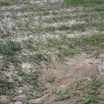 خسارت ۱۲ میلیاردی بارندگی های اخیر به مزارع اندیمشک