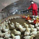 ۲۶۰ پرونده تخلف در عرضه مرغ در خوزستان تشکیل شد