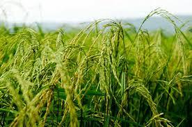 اختصاص ۱۲۸ هزار هکتار از زمین کشاورزی خوزستان به کشت شلتوک