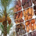قیمت خرید خرما اعلام شد/افزایش ۶۵ درصدی نرخ خرما