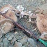 ۲ شکارچی متخلف قوچ در شوشتر دستگیر شدند