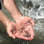 یک میلیون و ۳۵۰ هزار قطعه بچه ماهی در تالاب شادگان رهاسازی شد