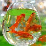 نکات نگهداری ماهی قرمز