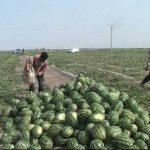 صادرات هندوانه و خربزه از رامشیر به خارج از کشور