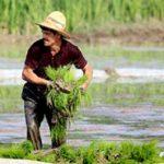 مجوز صادرات برنج تولیدی خوزستان رسما صادر شد