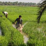 مجوز کشت برنج در جلگه خوزستان صادر شد