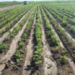 افزایش سطح زیر کشت محصولات زمستانه در شبکه های آبیاری شمال خوزستان