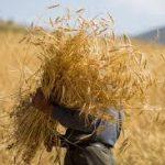 بیش از ۹۹ درصد از مطالبات کشاورزان خوزستانی پرداخت شد