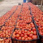 بیش از ۱۳ هزار تن محصولات کشاورزی به صورت حمایتی خریداری شد