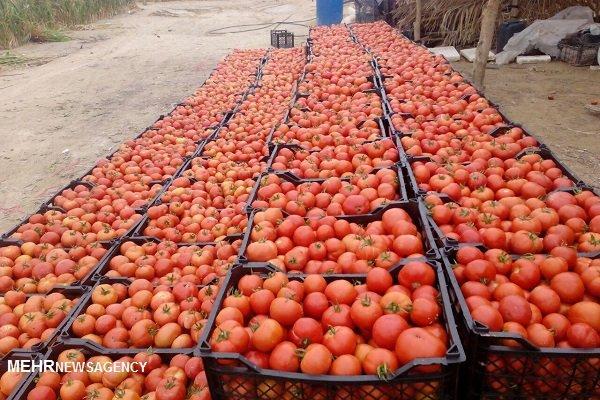 پایان خرید گوجه فرنگی در شهرستان دزفول