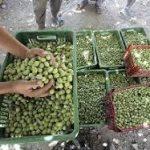 پیش بینی می شود بیش از ۲ هزار تن زیتون از باغات خوزستان برداشت شود