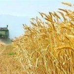 آغاز برداشت گندم در زمین های زراعی شهرستان هندیجان