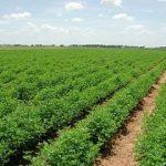 ۴۳۶هزار هکتار از مزارع خوزستان به کشت تابستانه اختصاص یافت