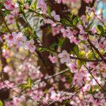 منصوریه بهبهان؛ شکوفه های بهاران، شکوه های باغداران