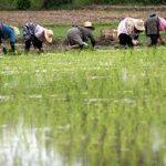 صادرات برنج خوزستان به عراق عملی نیست