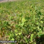 آغاز برداشت حبوبات تابستانه از مزارع امیدیه