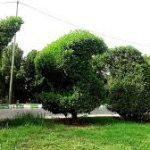 هرس و فرم دهی درختان کنوکارپوس در سطح کلانشهر اهواز
