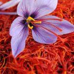 پیش بینی برداشت ۳۶ کیلوگرم زعفران از سطح مزارع استان