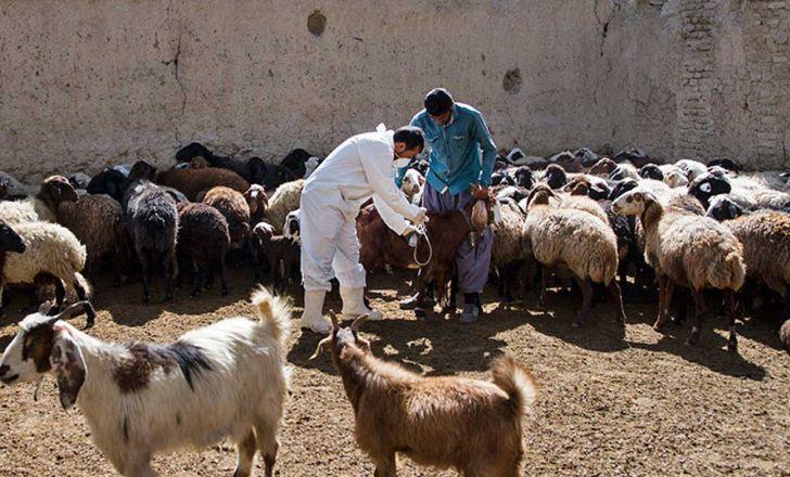 ویزیت رایگان دام به مناسبت دهه فجر در شهرستان دشت آزادگان