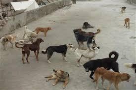سگهای بلاصاحب در شهر اهواز ساماندهی می شوند