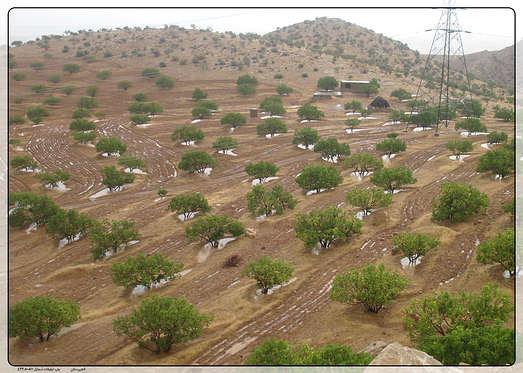 آغاز کاشت ۱۶۰ هزار اصله نهال در کشت و صنعت های هفتگانه توسعه نیشکر