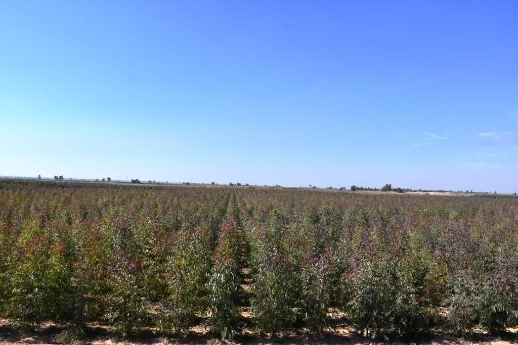 اجرای فاز دوم پروژه کشت صنعتی و متراکم درختان اکالیپتوس در کشت و صنعت امام خمینی (ره)
