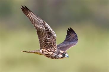 انهدام باند قاچاق پرندگان شکاری گرانقیمت در حمیدیه
