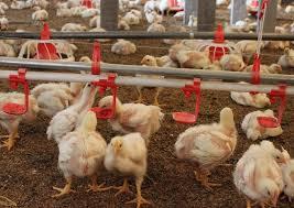 بیماری آنفلوانزای فوق حاد پرندگان در طیور صنعتی مشاهده نشده است